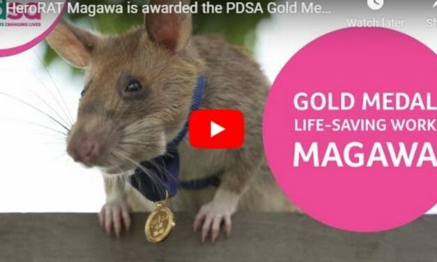 VIDEO: Rat Who Saved Countless Lives Clearing Landmines Awarded Bravery Medal