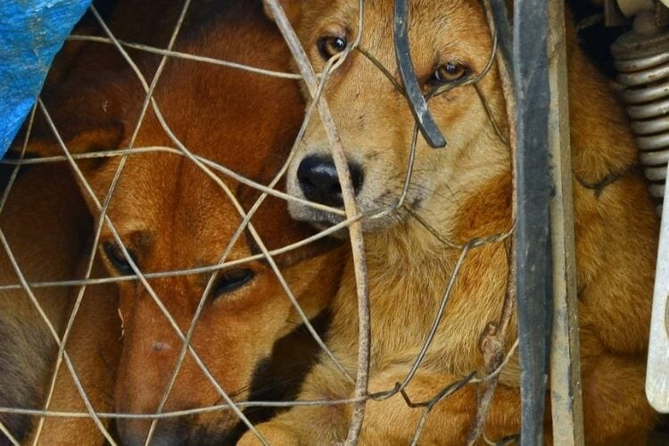vietnam dog meat trade