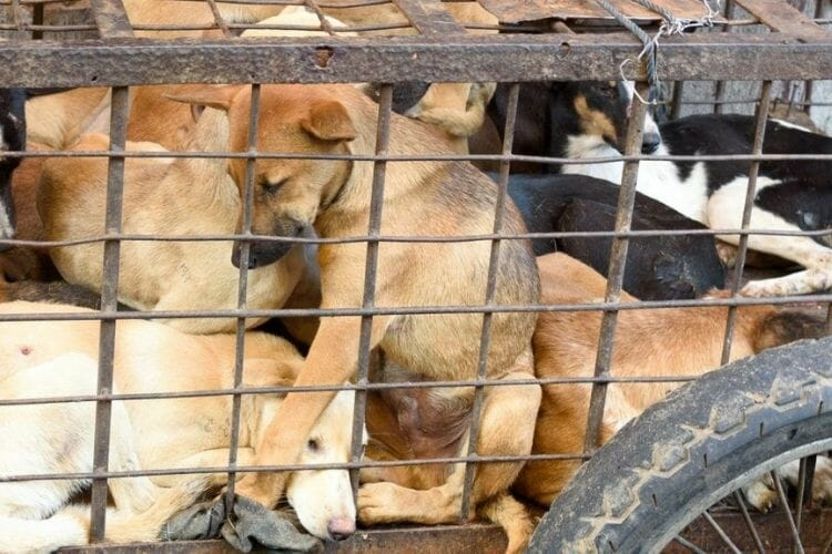 bali dog meat trade