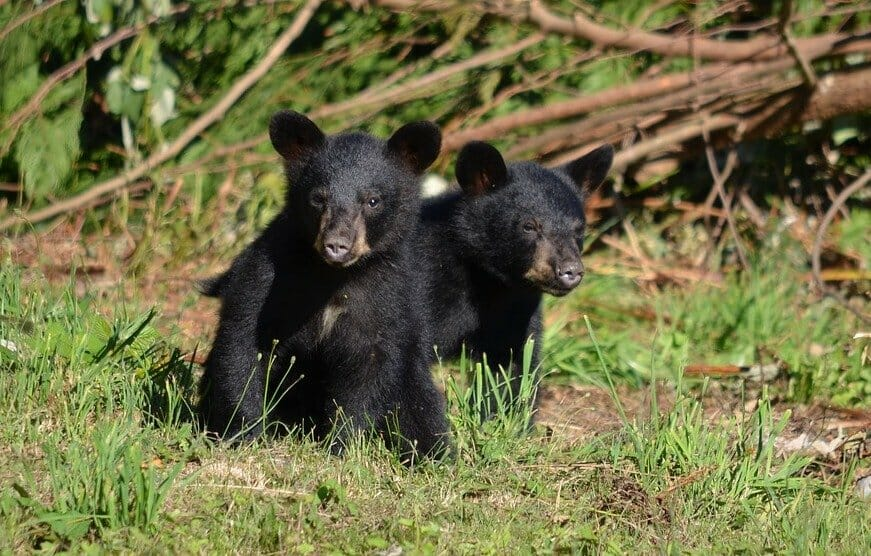 UPDATE: NJ Governor to End Black Bear Trophy Hunting
