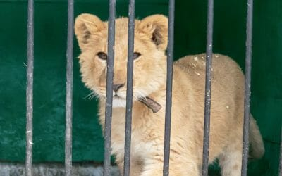 caged lion cub