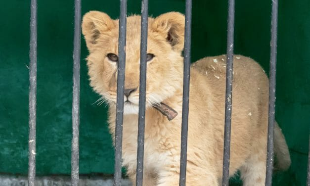 SIGN: Justice for Abused Lion Cubs Illegally Trafficked by 'Tiger King Star'