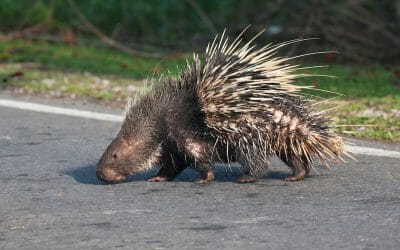 porcupine street