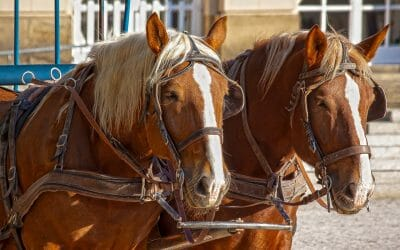 carriage horses