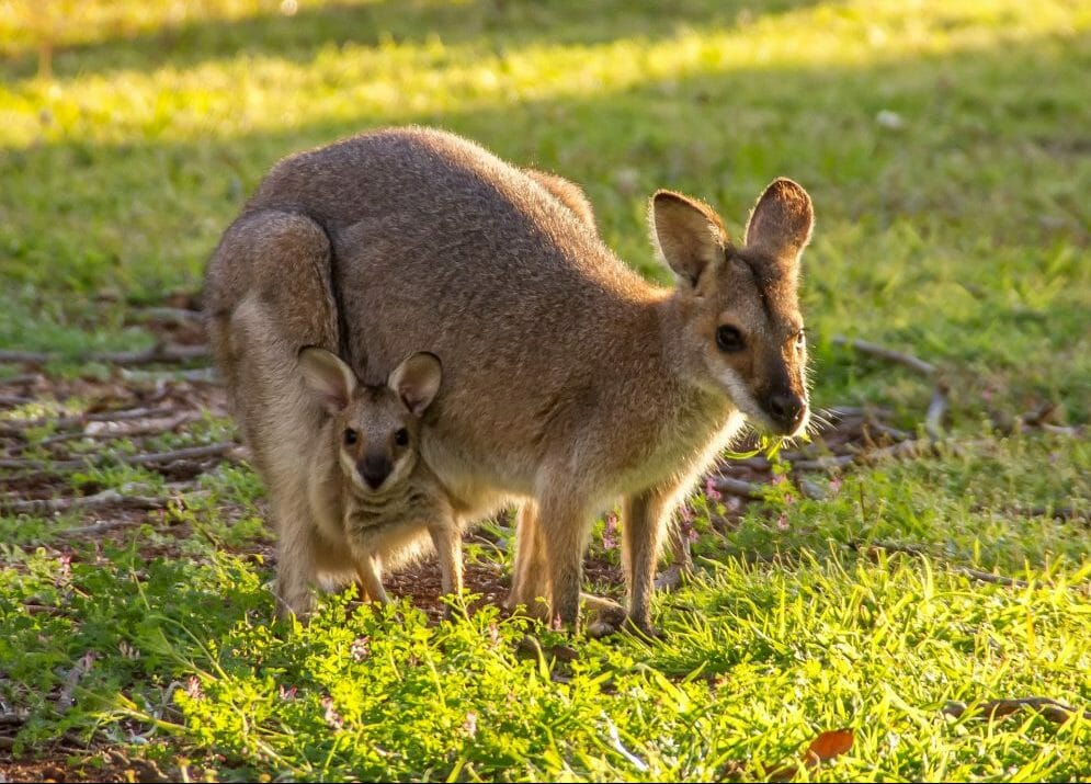 marsupial mother and baby