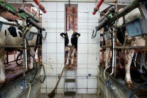 cow in factory farm