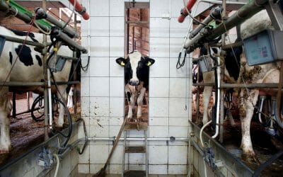 cow in factory farm