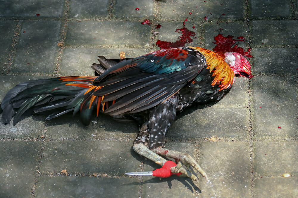 dead cockfighting rooster