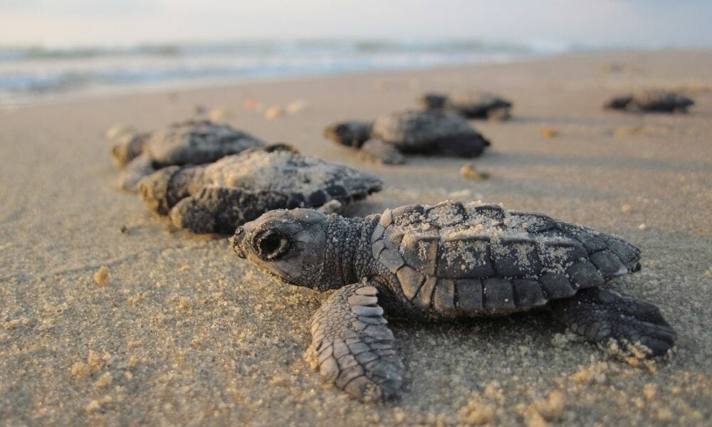 Endangered Turtles Hatch in 'Miracle' Numbers in Mexico