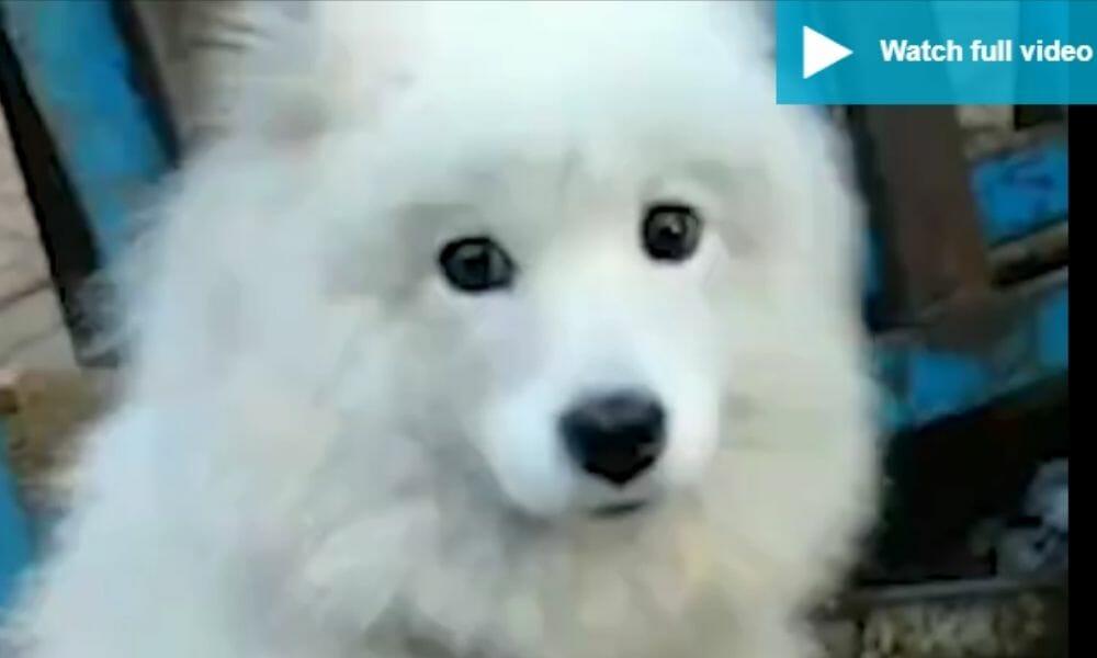 sad white dog