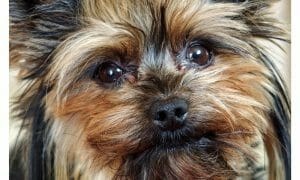 sad Yorkshire terrier