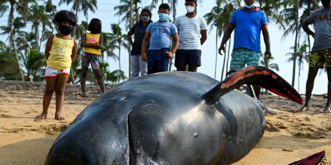120 Beached Whales Rescued by Sri Lankan Navy and Local Villagers