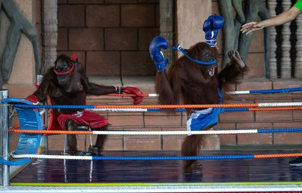 SIGN: End Cruel Orangutan Boxing Matches at Cambodian Zoo
