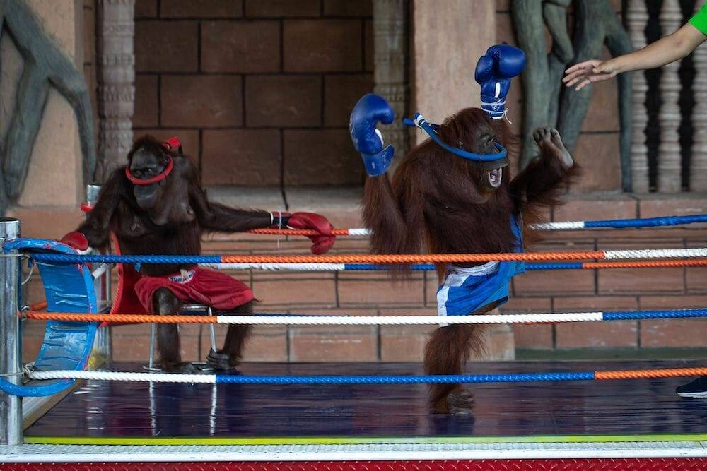 boxing apes