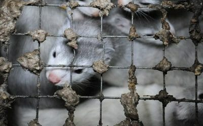 UPDATE: Denmark Halts Plan to Kill Millions of Mink