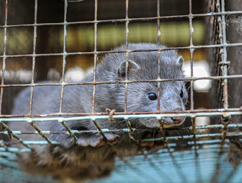 Thousands of Mink Are Dying from Coronavirus on Cruel Fur Farms