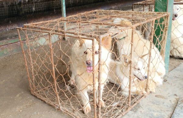 UPDATE: Mayor is Ordering Demolition of Dog Meat Auction – We Need Your Emails!