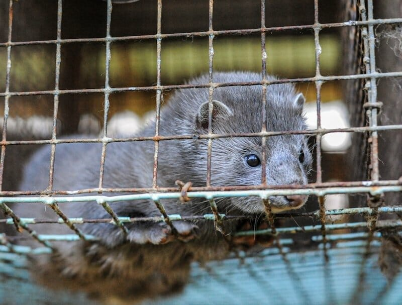 Mink Near Cruel Fur Farms Are the First Wild Animals to Test Positive for COVID-19