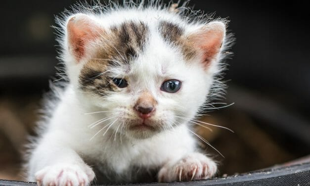 """SIGN: Justice for Sick and Dying Kittens Sold as """"Purebreds"""" Out of Car Trunk"""