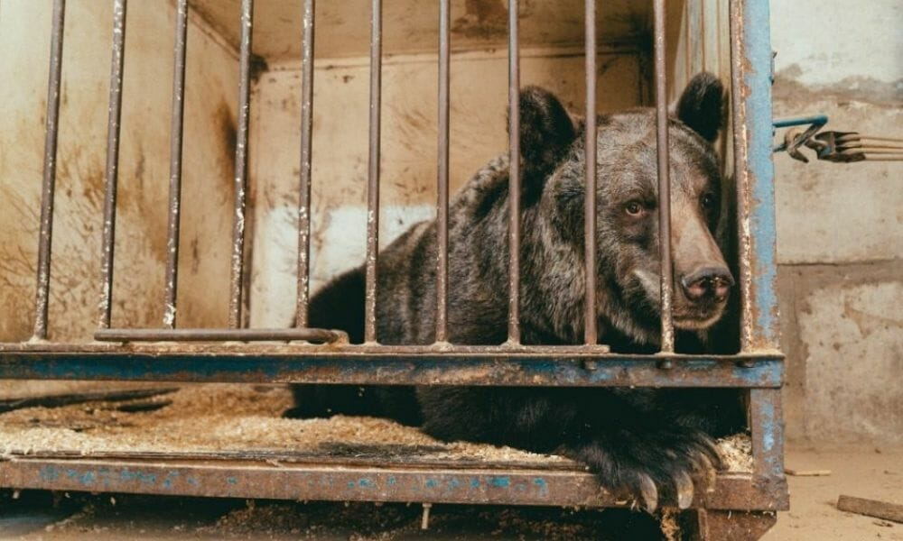 Circus Bear Leaves Tiny Cage for New Life At Sanctuary