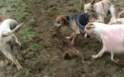 SIGN: Outlaw Cruel Dog Hunting Where Foxes Are Torn to Shreds