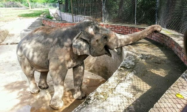 'World's Loneliest Elephant' to Meet Hundreds of New Friends at Wildlife Sanctuary