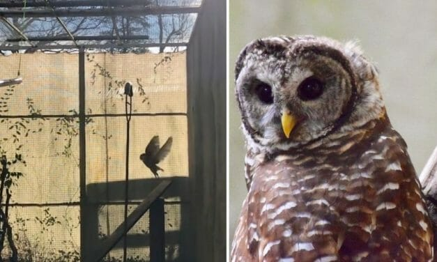 VIDEO: Owl Lacerated by Fishing Line Joyfully Returned to Wild