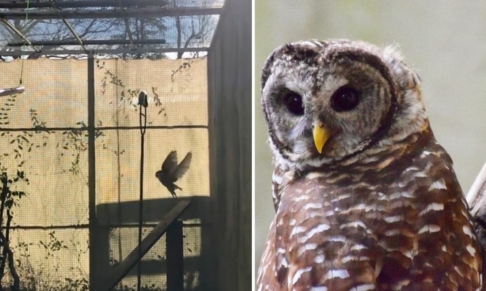 rescued barred owl virginia