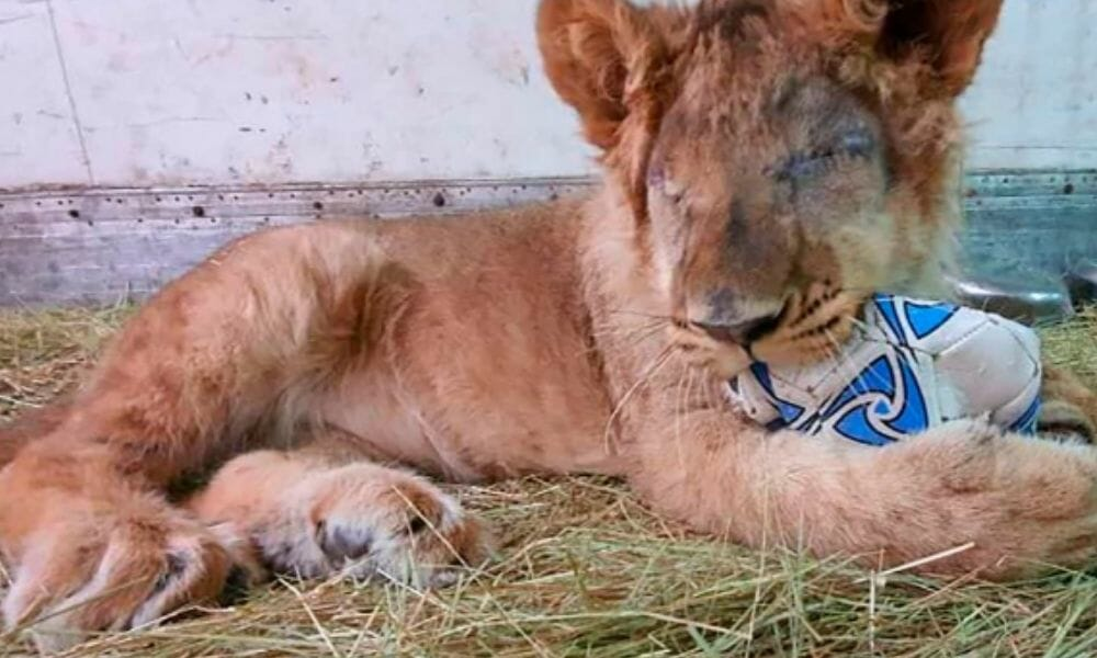 SIGN: Justice for Smuggled Lion Cub who Lost Both Eyes