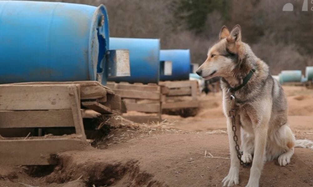 Shocking Cruelty and Death For Dogs in Iditarod Exposed Through Award-Winning Dogsledding Documentary