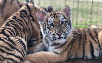 UPDATE: 'Tiger King' Star Ordered to Surrender All Big Cat Cubs and Their Mothers