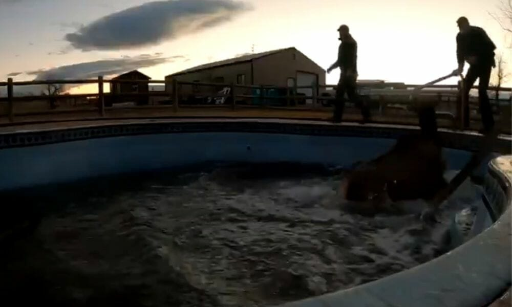 VIDEO: 500-Pound Elk Rescued From Swimming Pool