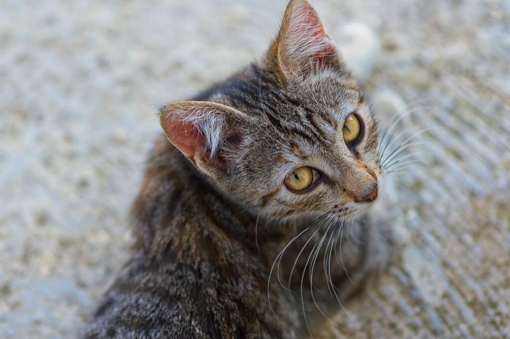 cat begging for help