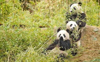 China's Endangered Pandas and Elephants Back From Brink of Extinction