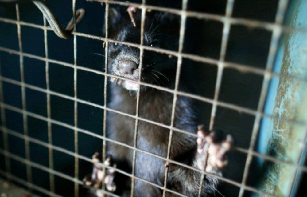 New Study Says The US Doesn't Know Where All Its Fur Farms Are