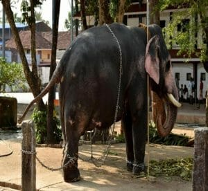 elephant torture