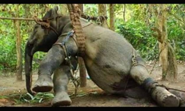 British Ban on Cruel Tourism Ads Could Save Asian Elephants on Brink of Extinction