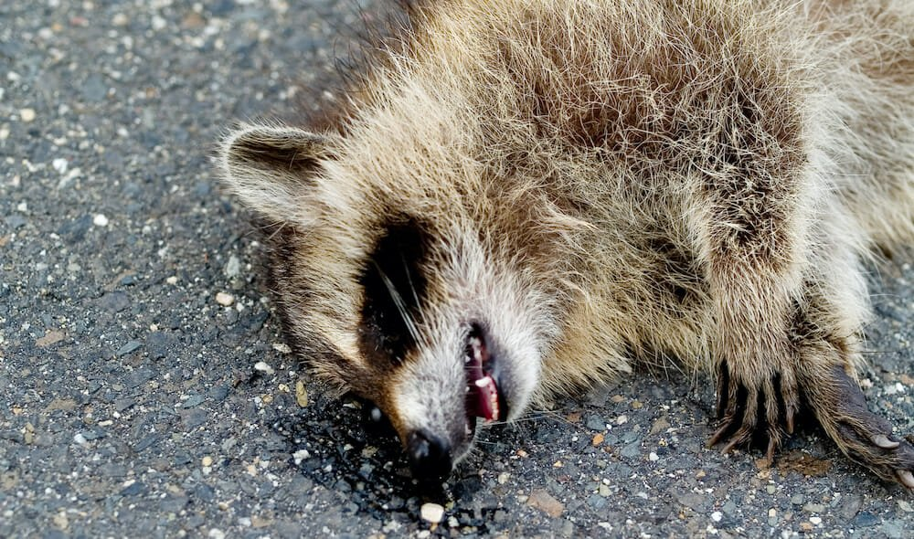 SIGN: Justice for Raccoon Burned Alive and Left for Dead
