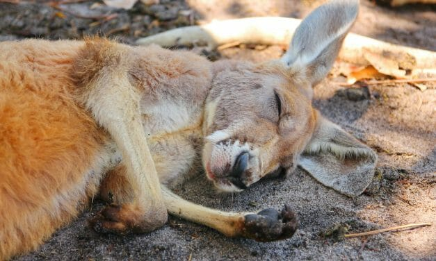 SIGN: Ban the Sale of Kangaroo Body Parts in the US