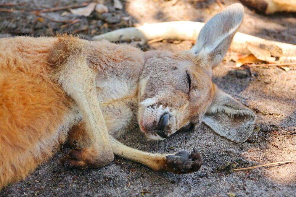 slaughtered kangaroo