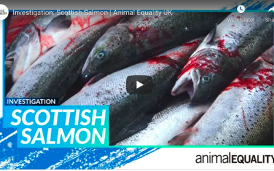 salmon killed