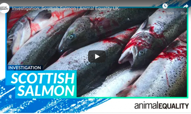 VIDEO: Undercover Footage Reveals Bloody, Brutal Deaths for Still-Conscious Salmon at UK Slaughterhouse