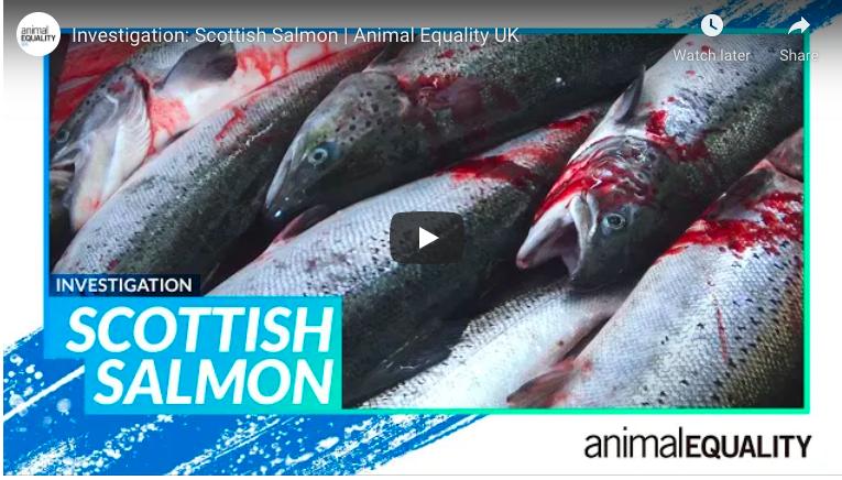 salmon killed