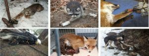 Wildlife caught in cruel traps