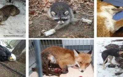 Wildlife caught in cruel traps