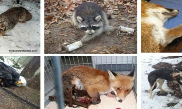 US Government's Wildlife 'Management' is Inflicting Slow, Painful Death for Animals