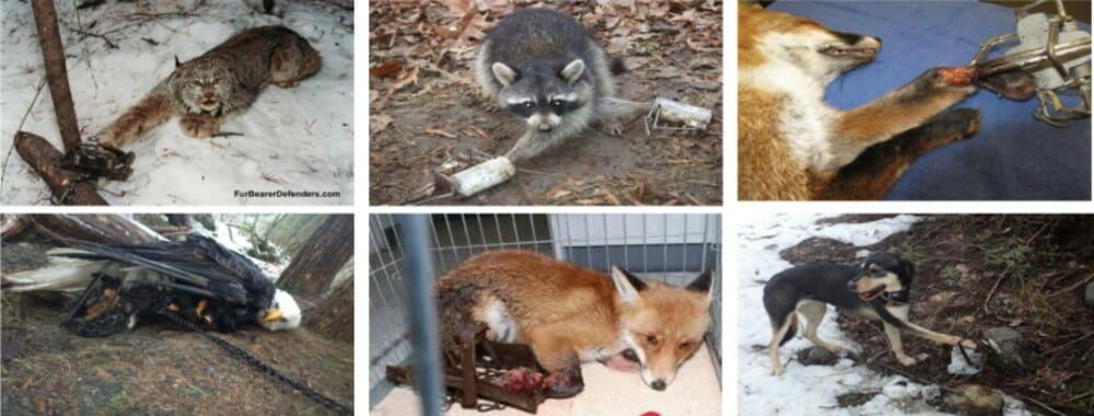 US Government's Wildlife 'Management' is Inflicting Slow, Painful Death on Animals