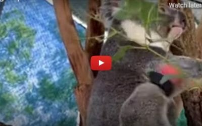 VIDEO: This Rescued Koala Is Living His Best Life Thanks to New Prosthetic Foot