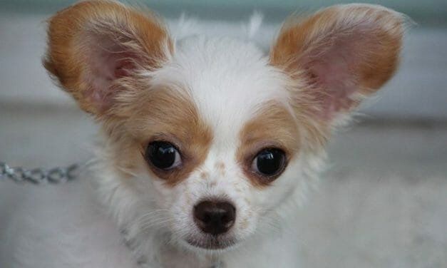 SIGN: Justice for Chihuahua With Neck Slashed For Social Media