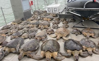 VIDEO: Thousands of Sea Turtles Rescued From 'Cold Stun' in Texas